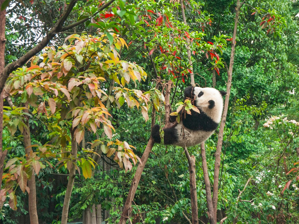 Les acrobaties d'un panda à Chengdu - © Chester Ho