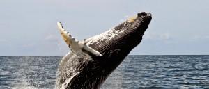 Les baleines à bosses du Mozambique - © Wwelles14