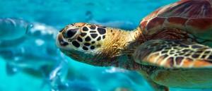 Peut-être nagerez-vous avec une tortue ? - © Marc CARAVEO