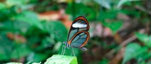 Les magnifiques papillons d'Amazonie, Equateur