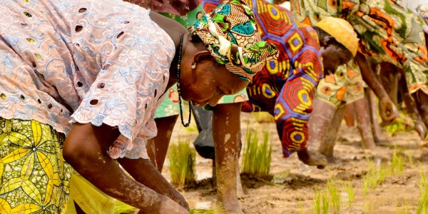 Travail en rizière en Casamance, Sénégal - © Sheena