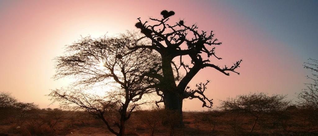 Les arbres somptueux du Sénégal - © Christian Costeaux