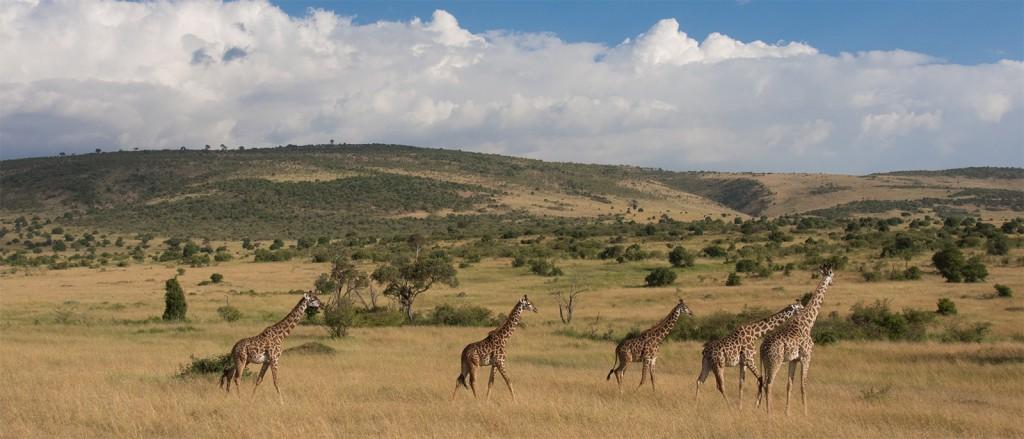Des girafes dans la magnifique réserve nationale du Masai Mara, Kenya - © Elsie Lin