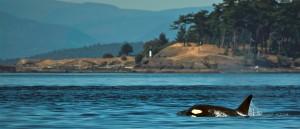 Un orque dans les eaux près de Vancouver - © Nicolas Gautschi
