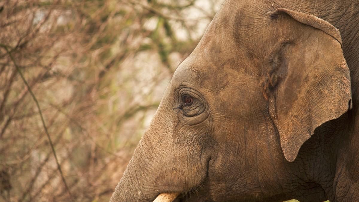 Un éléphant d'Asie - © Kitty Terwolbeck