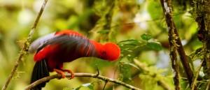 Le coq de roche et son joli plumage