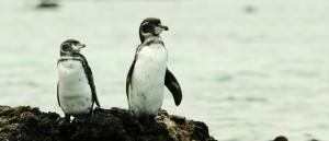 Faites la connaissance des gentils manchots des Galápagos
