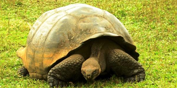 Les Galápagos et ses impressionnantes tortues géantes