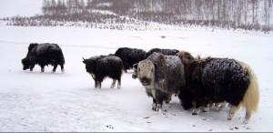 Dans le parc Gorkhi-Terelj, sous la neige, en Mongolie - © yeowatzup