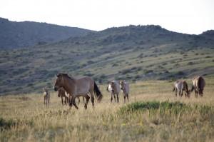 Les chevaux de Przewalski du parc de Khustain Nuruu, en Mongolie - © L'irrésistible silhouette bleue